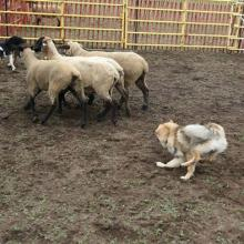 Maverick also showing herding skills